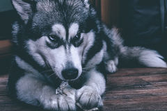 Young alaskan malamute eats bone on a floor. Selective focus. To Royalty Free Stock Photo