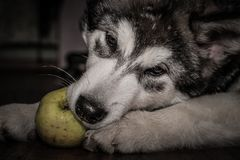 Young alaskan malamute lays on a linoleum floor. Selective focus. Shallow depth of field. Toned Stock Images