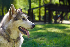 Young alaskan malamute sled breed puppy sitting and smiling outdoor Stock Images