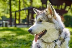 Young alaskan malamute sled breed puppy sitting and smiling outdoor Stock Image