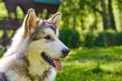 Young alaskan malamute sled breed puppy sitting and smiling outdoor Royalty Free Stock Photos