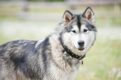 Young Alaskan Malamute on a walk in a park Royalty Free Stock Photo