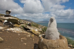 Young Albatross Looking at the Camera Stock Photo
