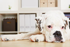 Young albino boxer dog looking sad Royalty Free Stock Image
