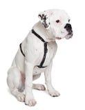 Young albino boxer dog. Sitting isolated on white Stock Photo