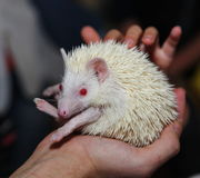 Young Albino Hedgehog Sitting On The Hands Of Man. On A Dark Background. Royalty Free Stock Images