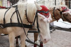 Young albino horse with black halter in winter the street. Nobody in the street in Lwiw, Ukraine, royalty free stock images