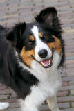 A young alert collie dog Royalty Free Stock Photo