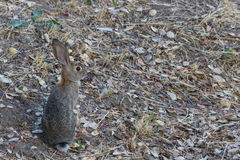 Young alert wild rabbit sitting in a background of concealing oak leaves Royalty Free Stock Photos