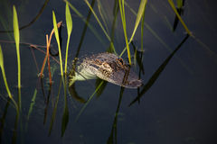Young aligator  resting on the lake. On a nature background with green grass Stock Image