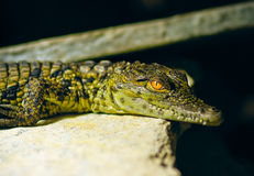 Young alligator Royalty Free Stock Photography