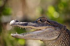 Young Alligator. Tight shot of a young alligator with its jaw open Royalty Free Stock Photo
