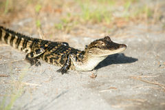 Young alligator. Along the edge of a swamp in St. Marks National Wildlife Refuge Royalty Free Stock Photos