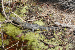 Young Alligator in Florida Marsh. A young alligator rests in a marsh in St. Andrews State Park, Florida. The detailed view of its habitat includes vegetation Royalty Free Stock Image
