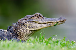 Young Alligator Head Shot. Young Alligator basking in Magnolia Springs State Park in Georgia Stock Photography