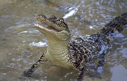 Young Alligator Rears Up Out Of Water. Young alligator looking for food rears up out of the water Royalty Free Stock Images
