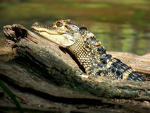 Young Alligator Sunning on Log. Juvenile American alligator sunning on a log Stock Images