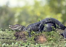 Young Alligator and turtles. Young alligator sunning with turtles in Florida swamp Royalty Free Stock Photos