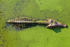 Young alligator in Thailand wetland pond with duckweed and copy Royalty Free Stock Photography