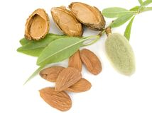 Young almond Stock Image