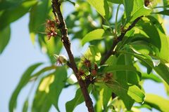 Young Almond Drupes Royalty Free Stock Images