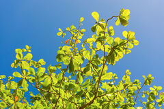 A young almond tree in the caribbean Royalty Free Stock Images