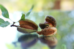 Young almonds stock images