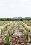 Young Aloe Plants in Field Stock Image