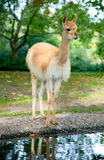 A young alpaca Royalty Free Stock Photos
