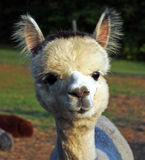 Young alpaca closeup. Young alpaca with a baby face Royalty Free Stock Image