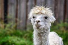 Young Alpaca Royalty Free Stock Photos