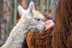 Young Alpaca Stock Image