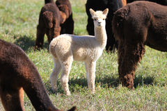 Young alpaca in a herd Stock Photos