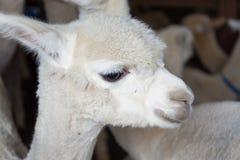 Young alpaca llama Stock Image