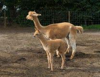 Young alpaca Royalty Free Stock Photos