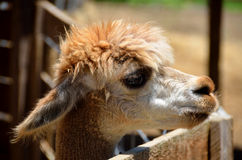 Young alpaca profile Royalty Free Stock Photography