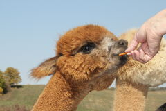 Young alpaca receiving a carrot treat Royalty Free Stock Photos