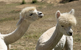 Young Alpacas South Africa Royalty Free Stock Photo