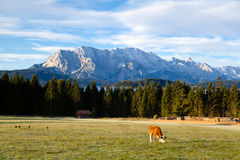 Young alpine cow on pasture Stock Photos