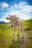 Young Alpine Cow Standing in Mountain Pasture Stock Photo