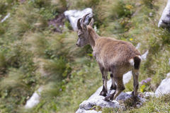 Young alpine ibex Stock Photos