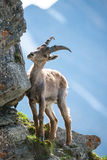 Young alpine ibex Royalty Free Stock Photo