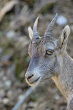 Young Alpine Ibex Royalty Free Stock Photo