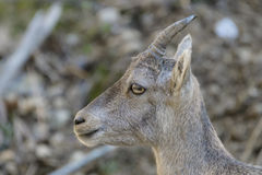 Young Alpine Ibex Royalty Free Stock Image