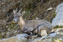 Young Alpine Ibex Stock Images
