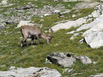 Young alpine ibex grazing Royalty Free Stock Photos