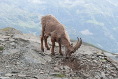 Young Alpine Ibex in Italian Alps Royalty Free Stock Image