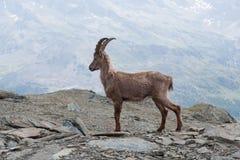 Young Alpine Ibex in Italian Alps Stock Photography