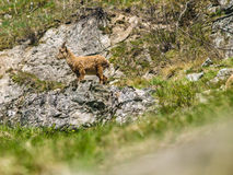 Young alpine ibex Royalty Free Stock Images