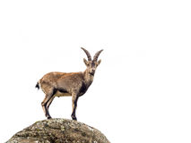 Young alpine ibex male isolated on white background stock images